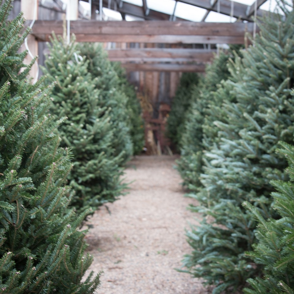 Oak397_Facebook_SqGalleryImg_FreshChristmasTrees